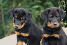 Beauceron Beauties