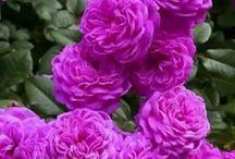 Roses- Vared