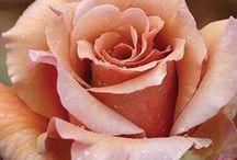 Trandafirirosii buchete