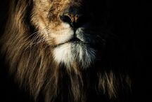 Lion, the King!