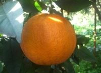 Arance di Ribera (Ag) / E queste foto anche alla pagina Arance del mio blog di cucina - CMRicette? #CMRicetteFrutta #CMRicette
