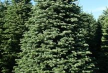 Noble Fir Christmas Trees / Noble Fir Christmas Trees are celebrated for their upturned, blue-green needles and evenly spaced branches.