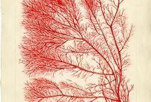 algue rouge 1