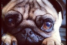 Sweet Puggies! / I love pugs. We have one, and now that we have him, I'm a huge fan. Best. Dogs. Ever. / by Chelsea Butcher
