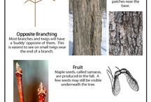 all things Maple / by Becki Childs