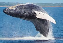 Maui Whale Watching / Every winter from December to April, pods of Pacific humpback whales make their swim 3,000 miles from chilly Alaska to the toasty Maui shores. You'll see all their tricks including: fluking, spy hopping, spouting, and playing together.