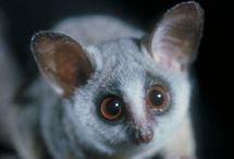 Bush Babies! / this is my all time fav animal!