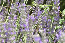 Lavender / Lavender around Casa Spertaglia