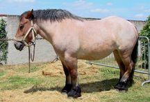 L'Ardennais / L'ardennais est considéré comme le descendant direct du cheval de solutré, ce qui en fait un des plus anciens chevaux de trait. Lors de la guerre des Gaules, Jules César aurait été subjugué par cette race. Plus tard, l'Ardennais tira les pièces d'artillerie de Napoléon ainsi que les charrettes et les outils agricoles. Ils sont réputés pour avoir survécu à la campagne de Russie.