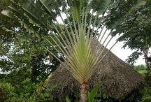 Palms -fan-regia