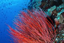 Corals: Rainbow of Colors under the Sea / Corals are animals that are often mistakenly considered as plants or rocks. In this board, we'll pin some of them.