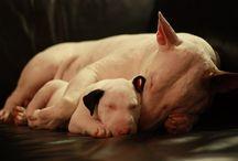 Bullterrier *-*