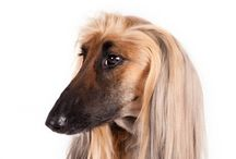 Afghan Hound / Since ancient times, Afghan Hounds have been famous for their elegant beauty. But the thick, flowing coat that is the breed's crowning glory isn't just for show—it served as protection from the harsh climate in mountainous regions where Afghans originally earned their keep. Beneath the glamorous exterior is a powerful, agile hound—standing as high as 27 inches at the shoulder—built for a long day's hunt. Their huge paw pads act as shock absorbers on their homeland's punishing terrain.
