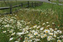 I love daisy flowers