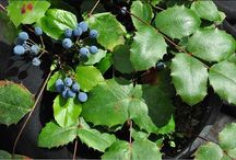 Water-Wise/Native Shrubs