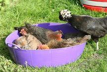 "My chickens ""The girls"" / by Brandi Wilson"