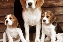 Everything Beagle !! / by Vicki Hunter-Carreno