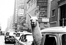 Llamas are here to seize the world