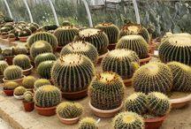 echinocactus / cactus, plant, garden, spine, flower, made in italy, succulent, landscape, design