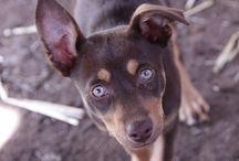 Kelpy / Australische hond