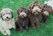 Labradoodles  / by Laura
