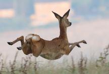 Roe Deers!