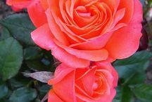 Najkrajšie ruže