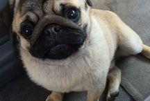 Pugs / PUGS RULE THE WORLD!!!!!!
