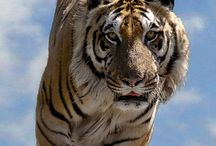 tiger.... / A TIGER DOSE NOT NEED TO BOAST THAT IT IS A TIGER....