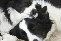 Collies / pictures of beutifull collies