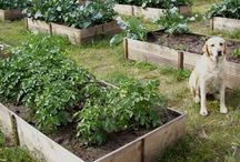 Gardening / Great gardening ideas for beginners.  Learn how to make that perfect vegetable and herb garden right in your backyard.