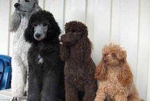 Poodles: Standard - Miniture - Toy - Teacup