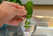 kaktus rozmnožování
