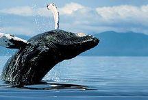 Mamíferos Cetáceos: baleias-cinzentas, francas, jubartes, / golfinhos, orcas, belugas, botos.