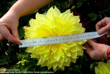 Dahlias / A nice selection of Dahlia photos