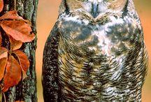 Owls/ pöllöjä