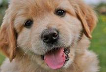 Golden Retrievers / The best dogs on the planet.  / by Cherie Reynhout