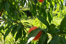 Growing fruit trees from seeds / by Heather Hicks