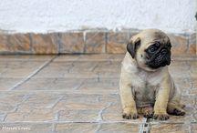 We Love Pugs / Pug love