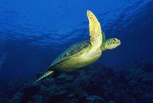 Tortugues de mar / Sea Turtles