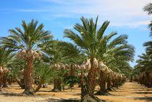 palm date