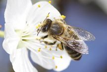 Save The Bees / The latest information on bees, Colony Collapse Disorder, and our ecosystem.