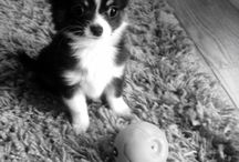 Cute puppies / Our little chihuahua