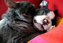 Boston Terriers / by Rose Marie Mello