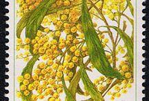 acacia pycnanthaFlower
