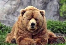 medvědí