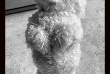 Bichon Baby / She will never be replaced but I can't help the desire for another one.
