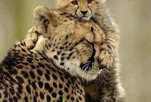Gepárdok