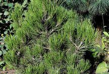 Pinus heldreichii - Sosna bośniacka
