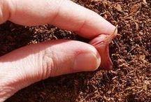como plantar  alho  em vaso.